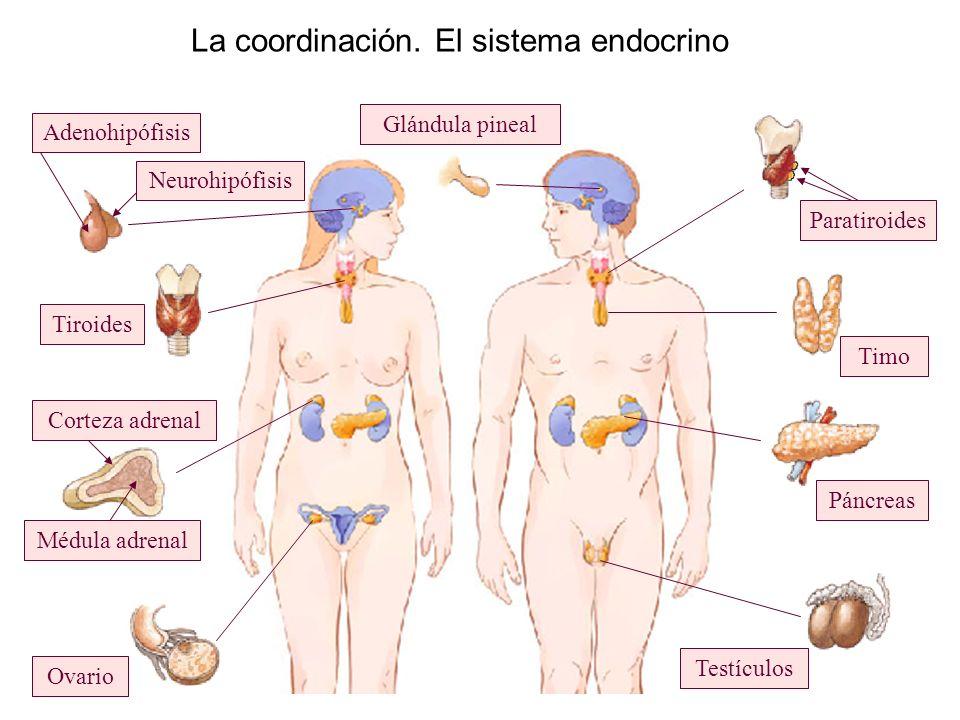 Fantástico Glándula Del Páncreas Ilustración - Imágenes de Anatomía ...